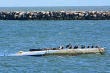 New harbor seal float, paid for by WETA, near Bay Trail on south side of Alameda Point.