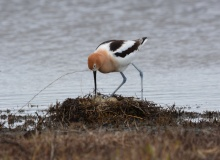 American Avocet nesting on VA property