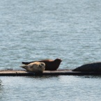 Sea Lions on Inner Harbor dock at Alameda Point