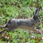 Jackrabbit on Nature Reserve at Alameda Point