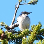 Western Scrub-Jay at Enterprise Park - Alameda Point