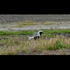 Black-bellied Plover on Nature Reserve at Alameda Point