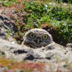 Burrowing Owl on Nature Reseve at Alameda Point