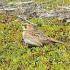 Horned Lark on Nature Reserve at Alameda Point
