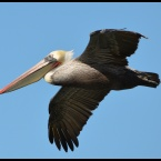 California Brown Pelican over Seaplane Lagoon - Alameda Point