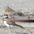 Killdeer on Nature Reserve at Alameda Point