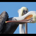 California Brown Pelicans on Breakwater Island - Alameda Point