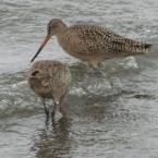 Marbled Godwits at Breakwater Beach - Alameda Point