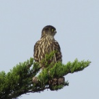 Merlin on Nature Reserve at Alameda Point