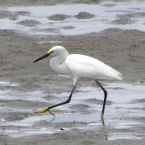 Snowy Egret at Breakwater Beach - Alameda Point