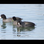 American Coots and friend