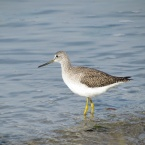 Yellowlegs at Breakwater Beach - Alameda Point