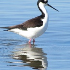 Black-necked Stilt at Breakwater Beach - Alameda Point