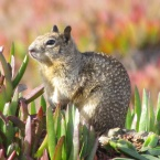 Ground Squirrel on Nature Reserve at Alameda Point