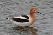 American Avocet on Nature Reserve at Alameda Point