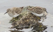 Western Sandpipers at Seaplane Lagoon - Alameda Point
