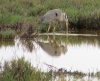 Great Blue Heron feeding in Runway Wetlands