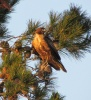 Red-tailed Hawk at Enterprise Park